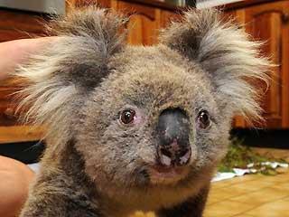 0_61_021109_koala
